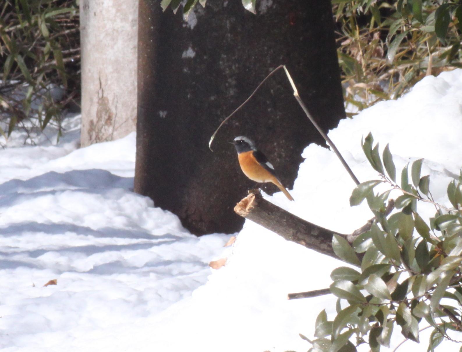 埼玉中部             雪と野鳥2014/02/09④_d0251807_18305742.jpg