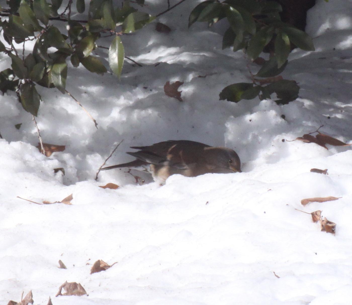 埼玉中部             雪と野鳥2014/02/09④_d0251807_1831559.jpg