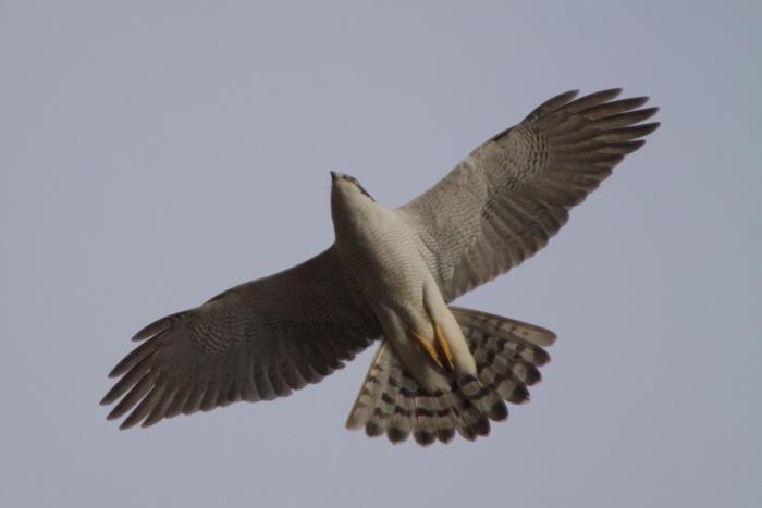 2014.2.12 強風で小鳥が出て来てくれません・権現山・ルリビタキ 、ジョウビタキ、モズ、オオタカ_c0269342_20381599.jpg