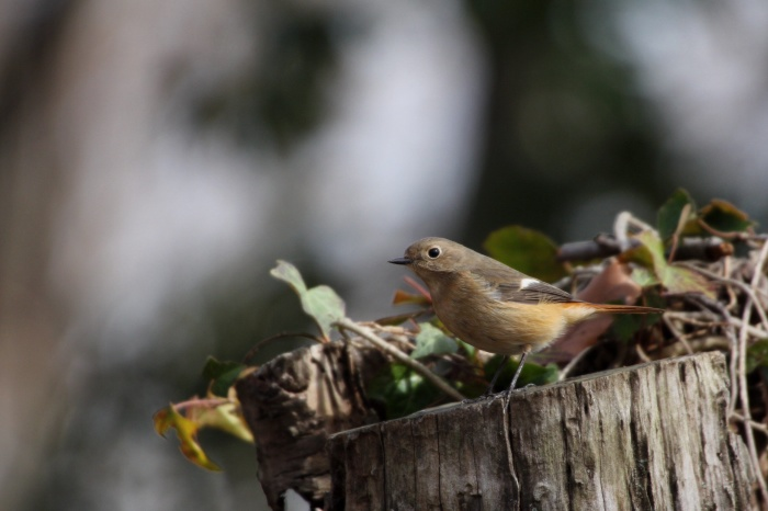 2014.2.12 強風で小鳥が出て来てくれません・権現山・ルリビタキ 、ジョウビタキ、モズ、オオタカ_c0269342_20465336.jpg