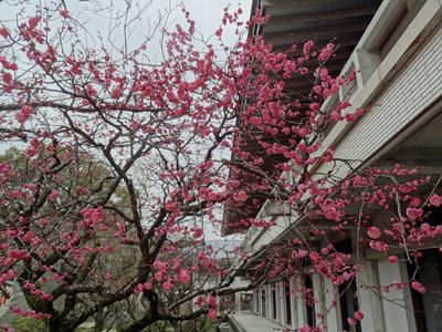 太宰府天満宮と周辺の梅 2014年2月13日_a0129233_1958781.jpg