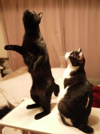はじめてのセントバレンタインデー猫 てぃぁらみるきぃ編。_a0143140_22565052.jpg