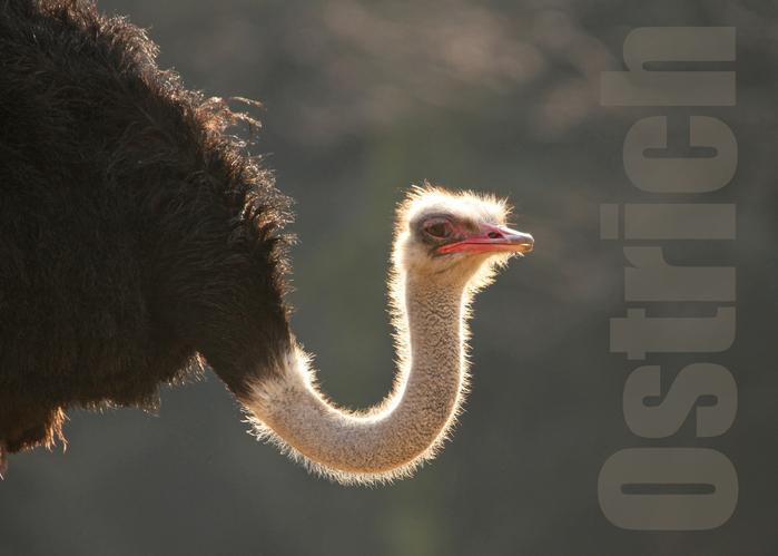 ダチョウ:Ostrich_b0249597_516680.jpg