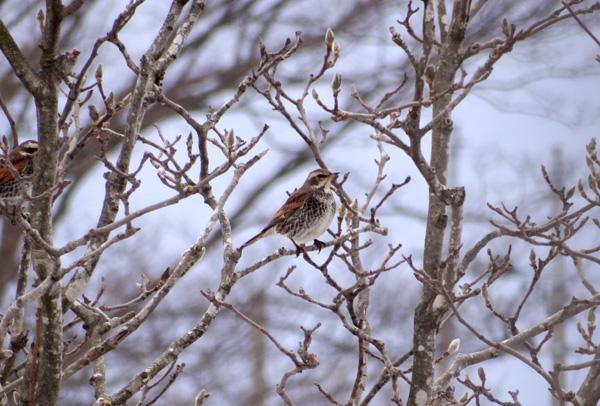 春待ち顔のツグミとシメと♪_a0136293_16245650.jpg