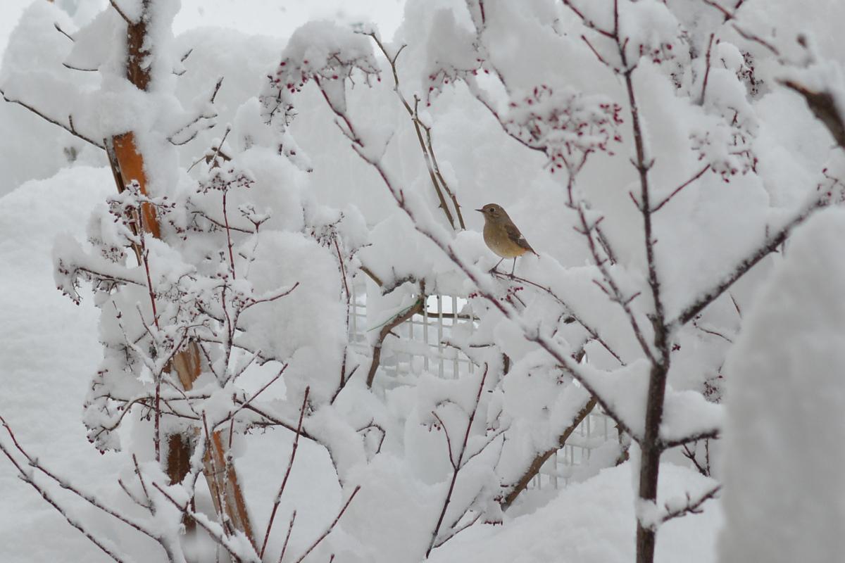大雪の中のジョウビタキ_f0053272_8585248.jpg