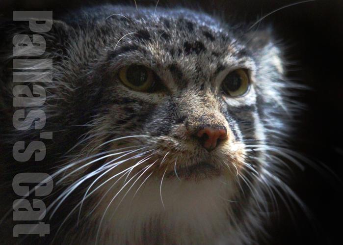 マヌルネコ:Pallas\'s Cat_b0249597_722122.jpg