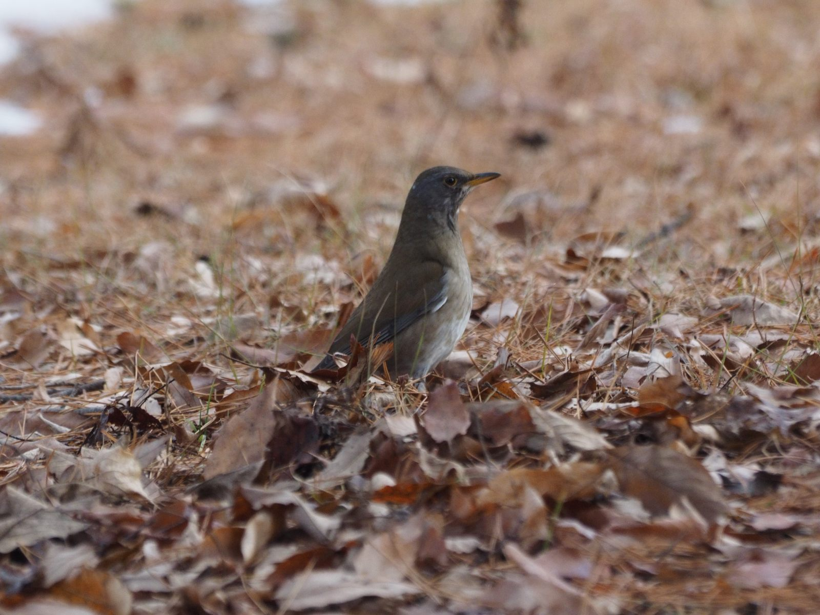 2014年2月13日 ルリビタキ/瑠璃鶲/Red-flanked Bluetail, Orange-flanked Bush-robin_f0108797_16115576.jpg