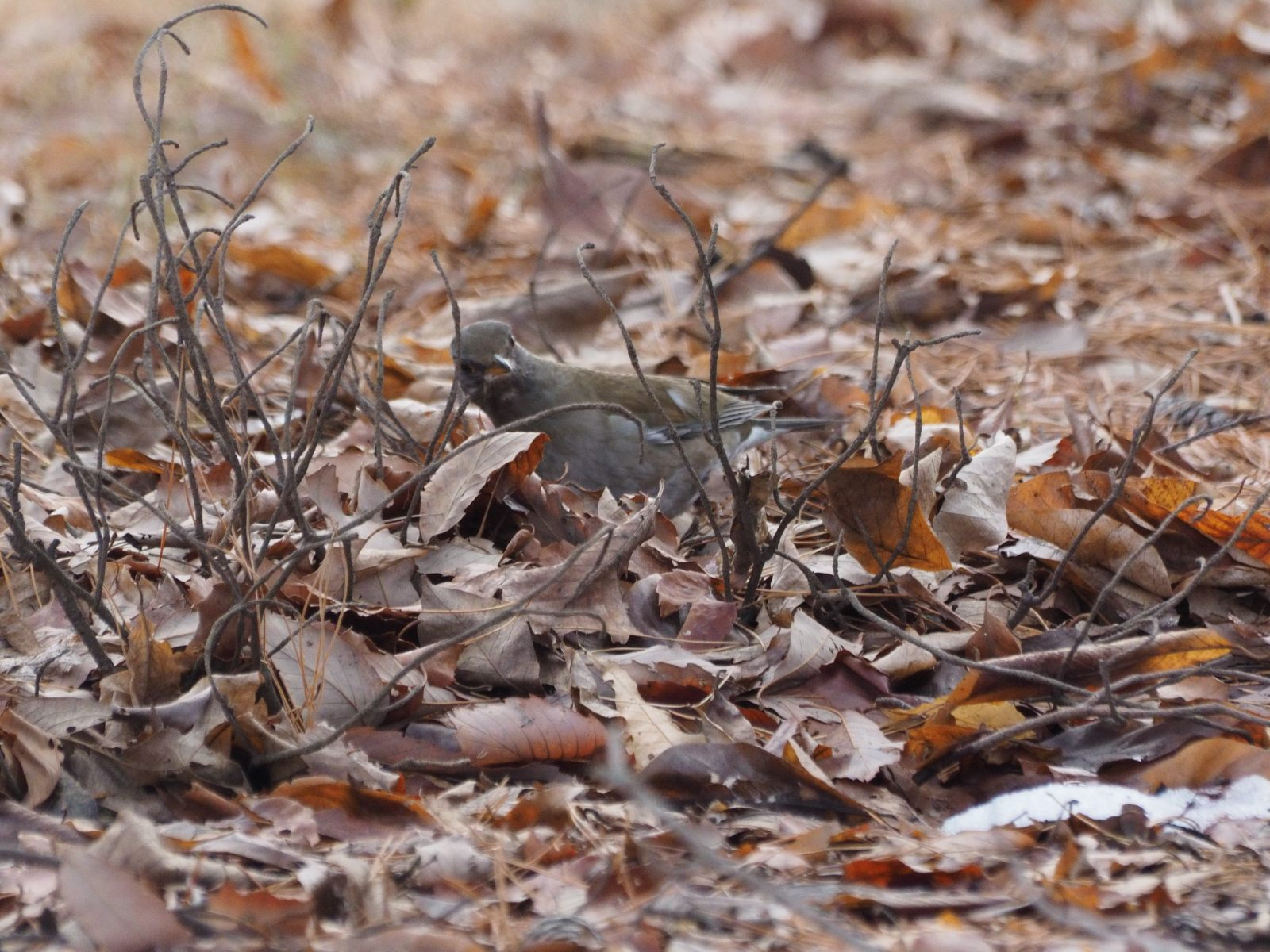 2014年2月13日 ルリビタキ/瑠璃鶲/Red-flanked Bluetail, Orange-flanked Bush-robin_f0108797_16121751.jpg