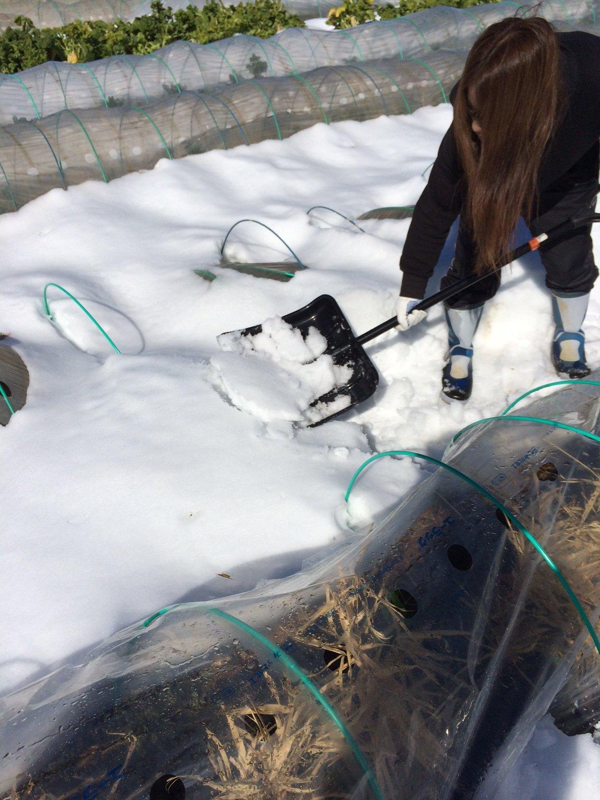 今朝は 2人で 雪かき・・なんとかエンドウ豆の畝 立て直しました・・復活を願います_c0222448_16123392.jpg