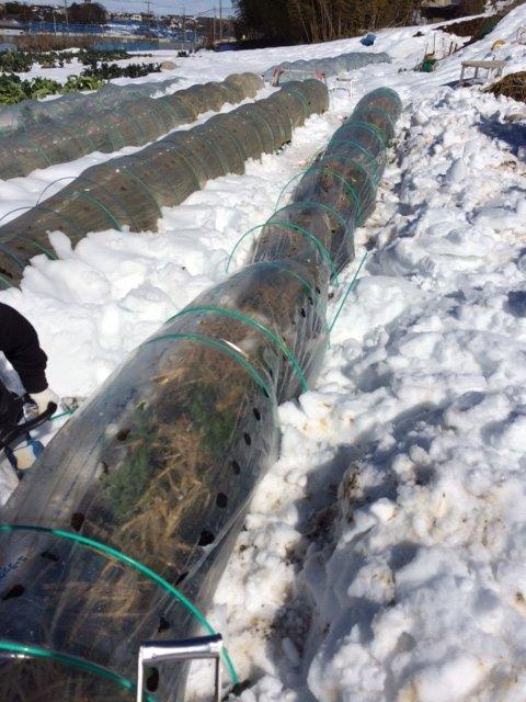 今朝は 2人で 雪かき・・なんとかエンドウ豆の畝 立て直しました・・復活を願います_c0222448_16140816.jpg