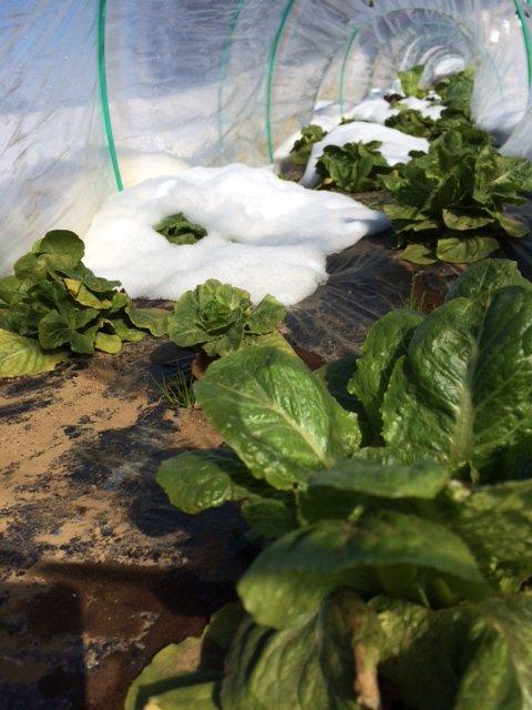 今朝は 2人で 雪かき・・なんとかエンドウ豆の畝 立て直しました・・復活を願います_c0222448_16180157.jpg