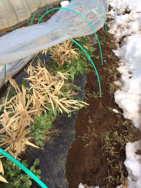 今朝は玉葱の畝を救出・・・1週間前も同じことやっていました・。予報通りで動いたのが敗因です・。_c0222448_16105682.jpg