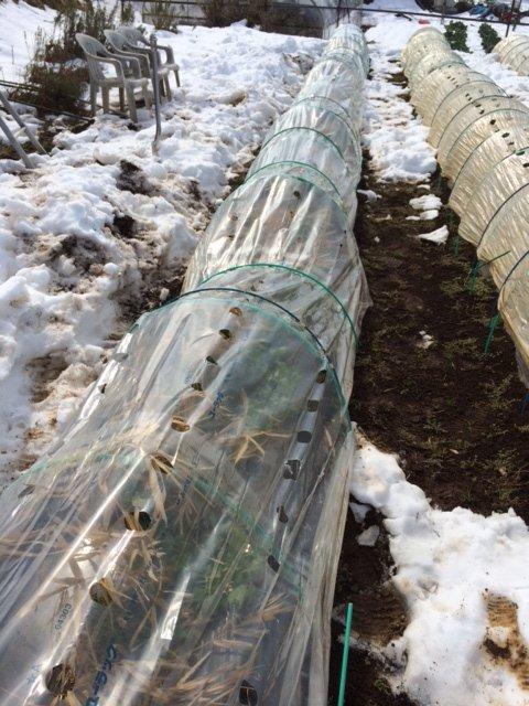 今朝は玉葱の畝を救出・・・1週間前も同じことやっていました・。予報通りで動いたのが敗因です・。_c0222448_16110585.jpg
