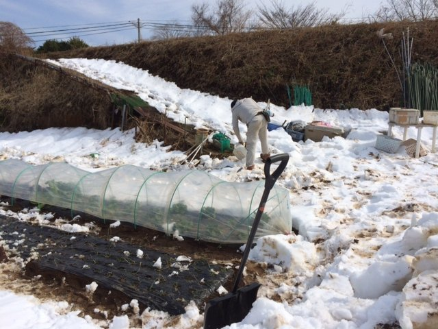 今朝は玉葱の畝を救出・・・1週間前も同じことやっていました・。予報通りで動いたのが敗因です・。_c0222448_16121198.jpg