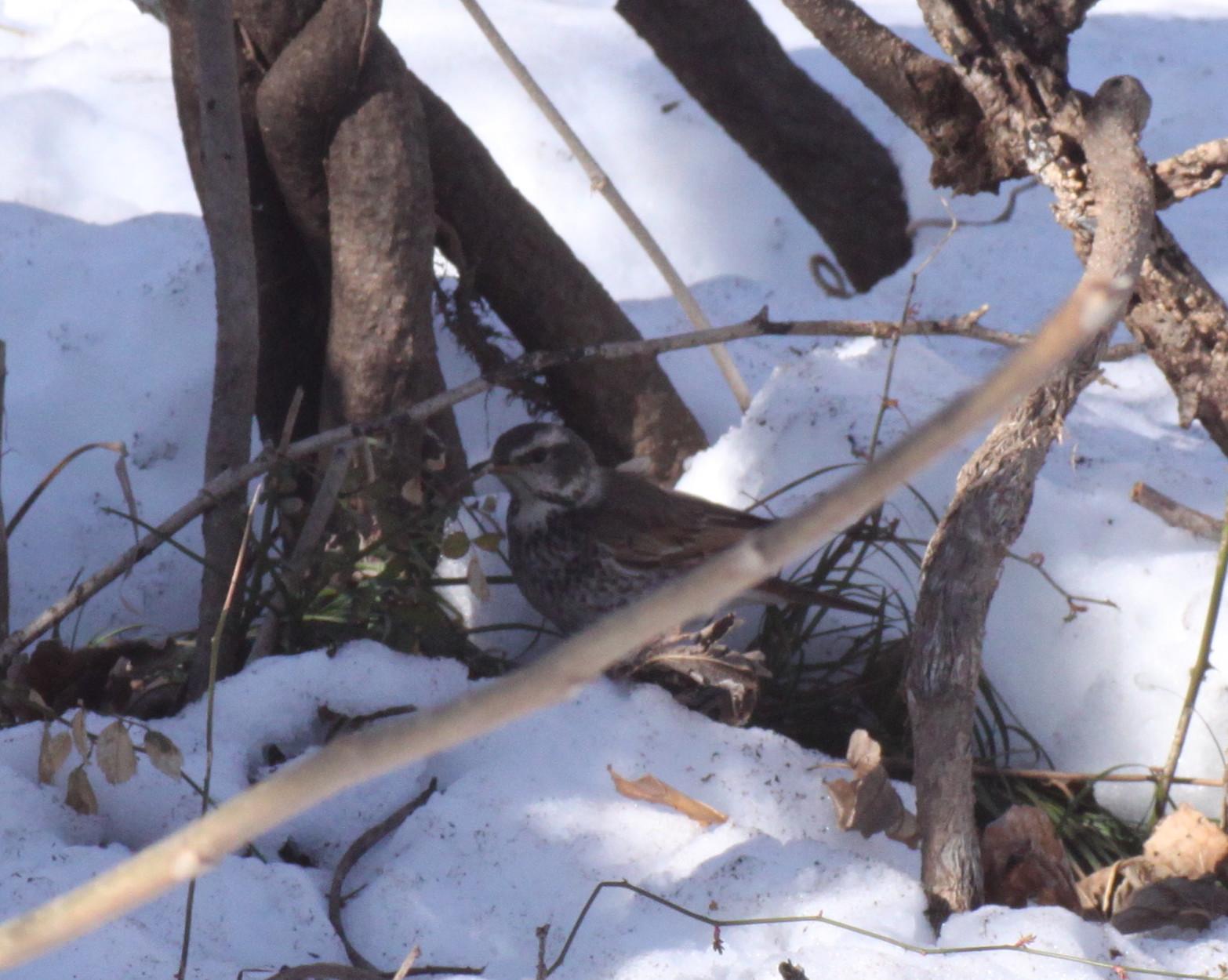 埼玉中部              雪と野鳥2014/02/16②_d0251807_18481719.jpg