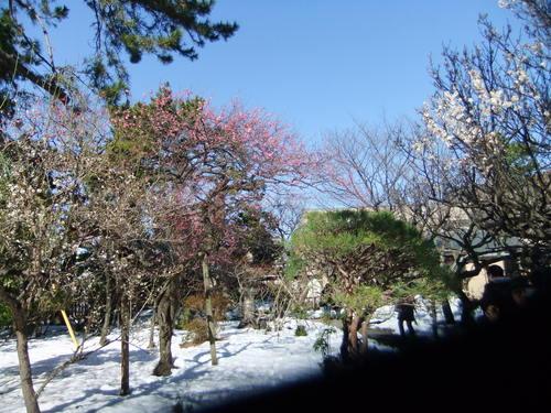 梅は満開...梅まつりは中止です。_b0137932_11441081.jpg