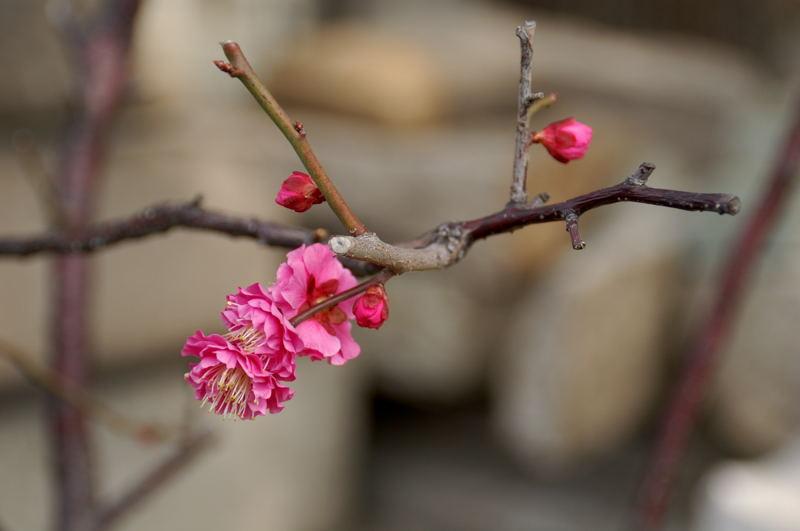 梅の花_e0053660_9313522.jpg