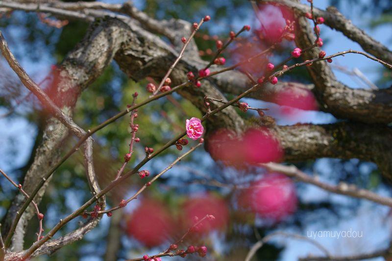 京都・北野天満宮の梅_a0157263_21212523.jpg
