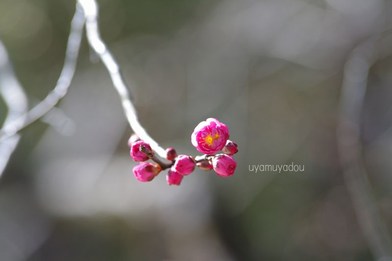 京都・北野天満宮の梅_a0157263_21214196.jpg