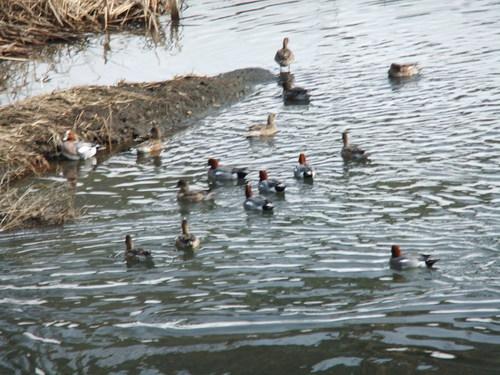 鴨の好物..ブロッコリー_b0137932_2010276.jpg