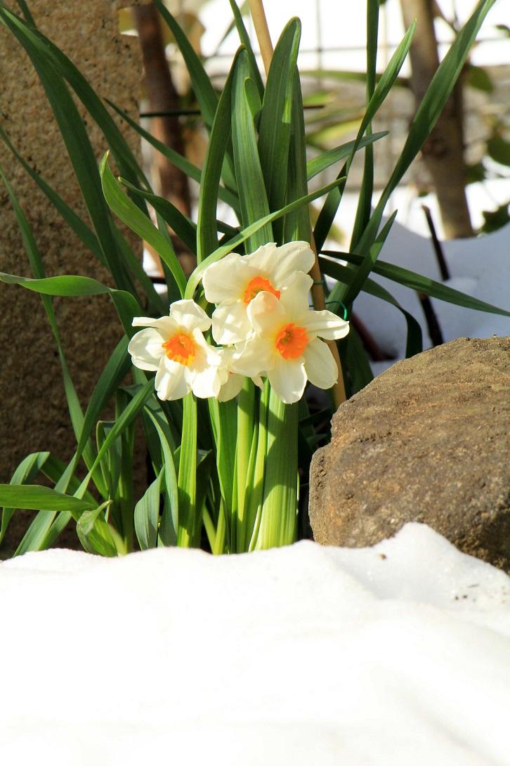 折れた水仙は花瓶で活かします_a0107574_18565470.jpg