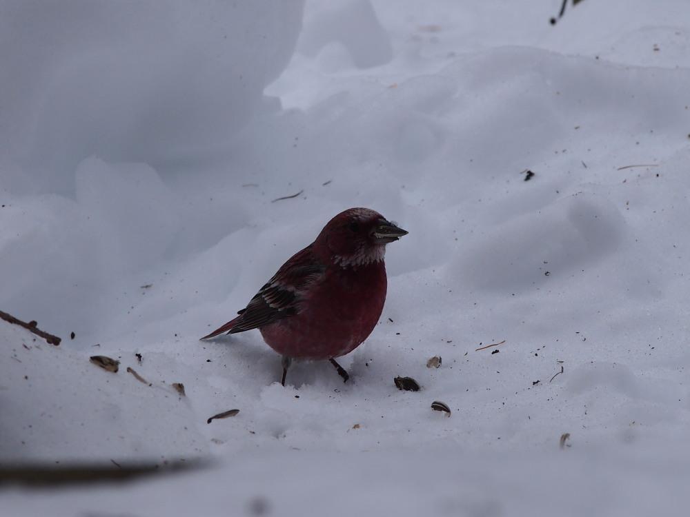 今年の冬もやってきました!「オオマシコさん」_f0276498_16123474.jpg