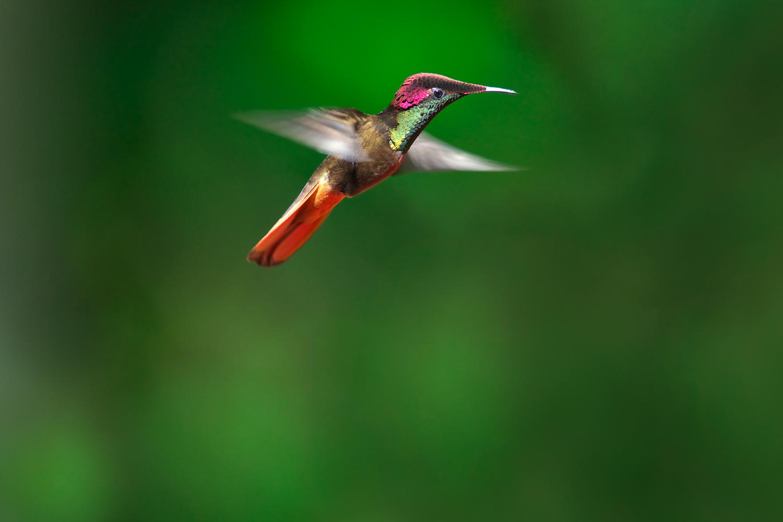 ハチドリの画像 p1_12