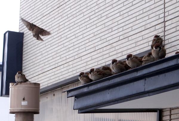 餌を待つ雀と、窓の向こうの雀を見るチョビなど♪_a0136293_19324181.jpg