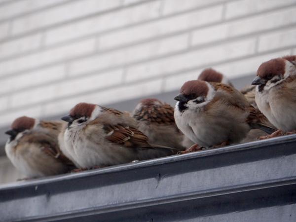 餌を待つ雀と、窓の向こうの雀を見るチョビなど♪_a0136293_1937322.jpg