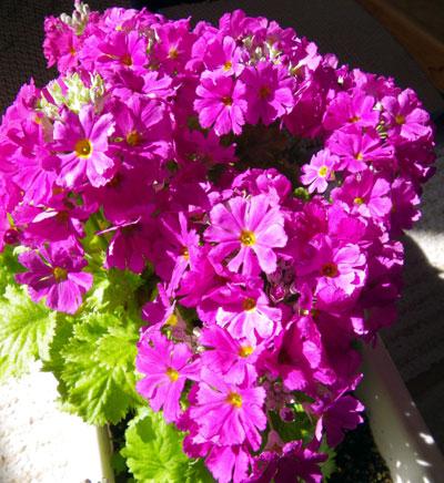 猫部屋のプリムラ・マラコイデス。花がモリモリ~~♪_a0136293_16412029.jpg