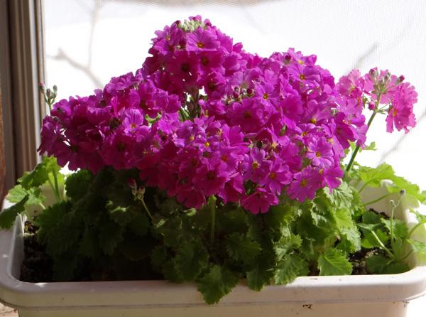 猫部屋のプリムラ・マラコイデス。花がモリモリ~~♪_a0136293_16483982.jpg