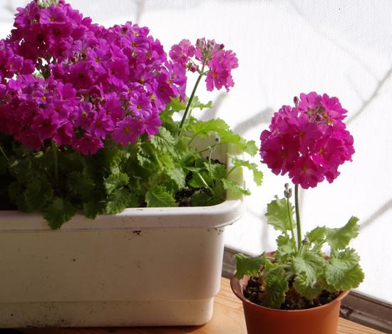 猫部屋のプリムラ・マラコイデス。花がモリモリ~~♪_a0136293_16522619.jpg