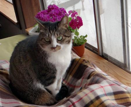 猫部屋のプリムラ・マラコイデス。花がモリモリ~~♪_a0136293_17102557.jpg