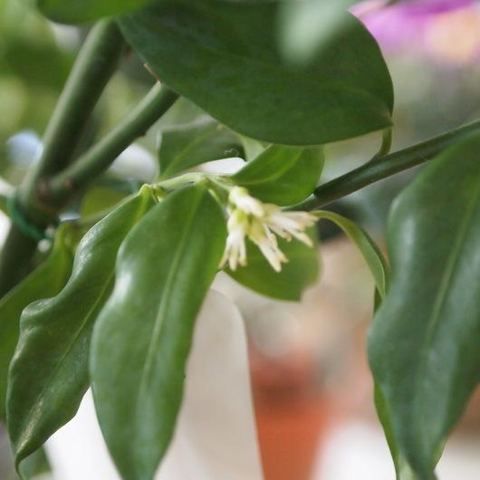 サルココッカのお花が咲きました。_a0292194_16384534.jpg