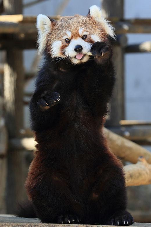 2月22日(土) 小熊猫の日_f0167208_039473.jpg