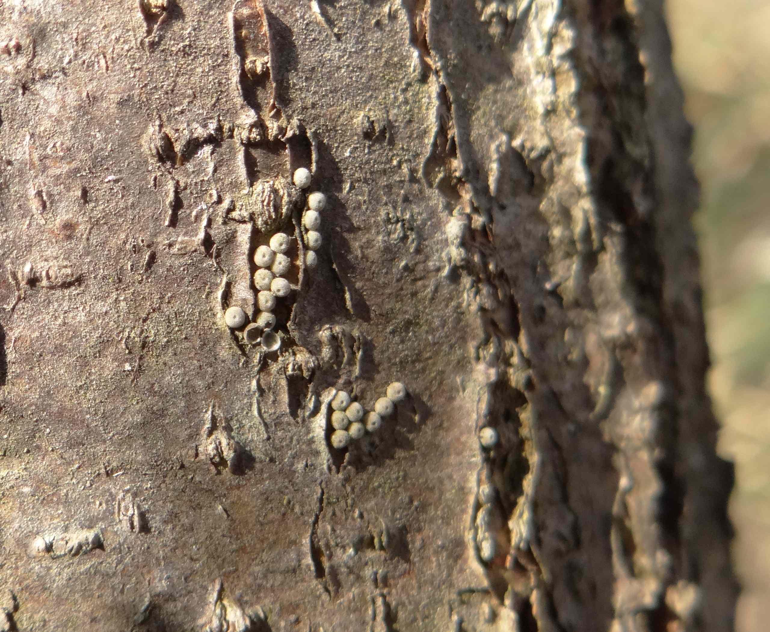 ミドリシジミの卵 伐採されたハンノキより_d0254540_11275254.jpg