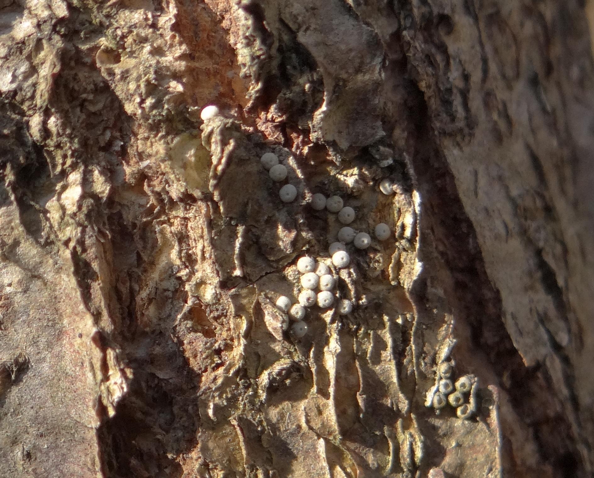 ミドリシジミの卵 伐採されたハンノキより_d0254540_1128718.jpg