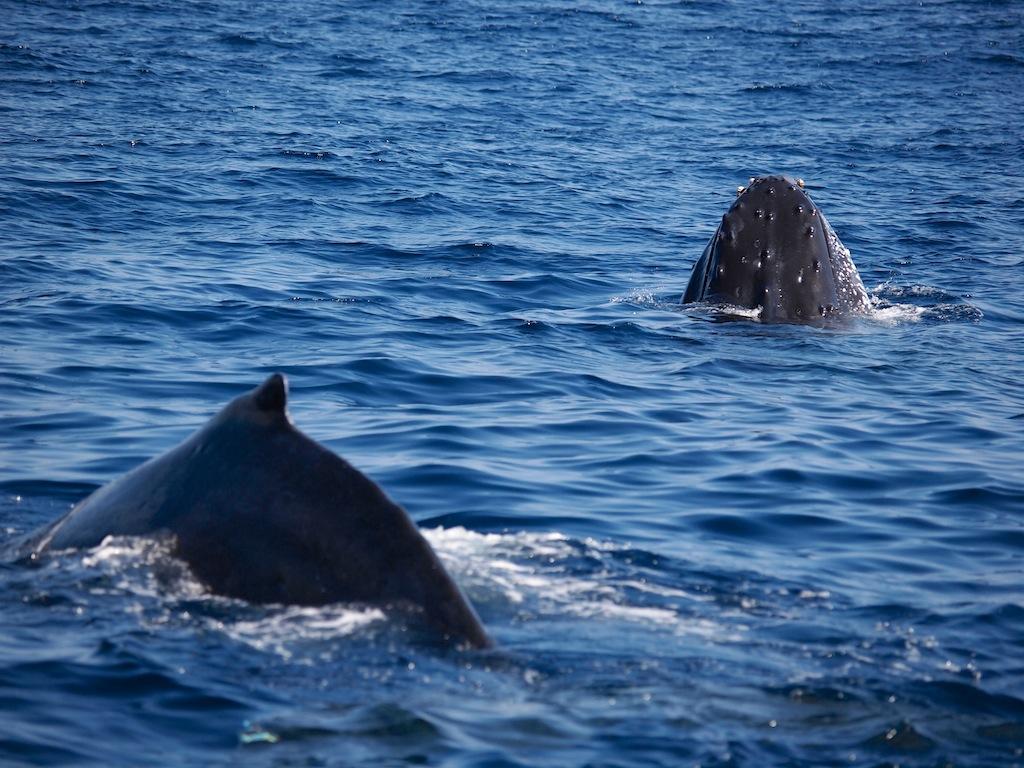 2/23 ザトウクジラ全島一斉調査結果_a0010095_21245481.jpg