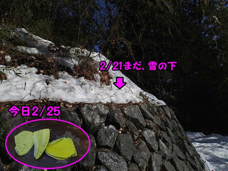 雪で潰されたキタキチョウ_e0253104_22565585.jpg