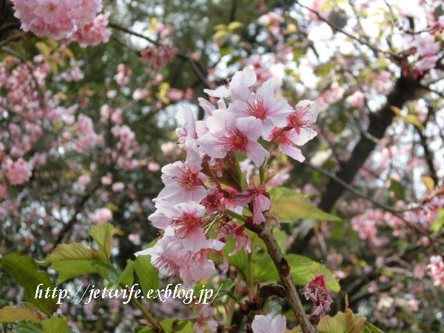こんどこそ、桜さく!_a0254243_11125440.jpg