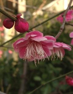 梅の花とさるのこしかけ_b0087556_2394387.jpg