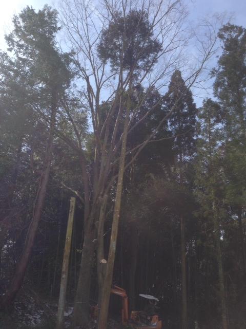 ケヤキの木を切りました。_b0283089_20191416.jpg
