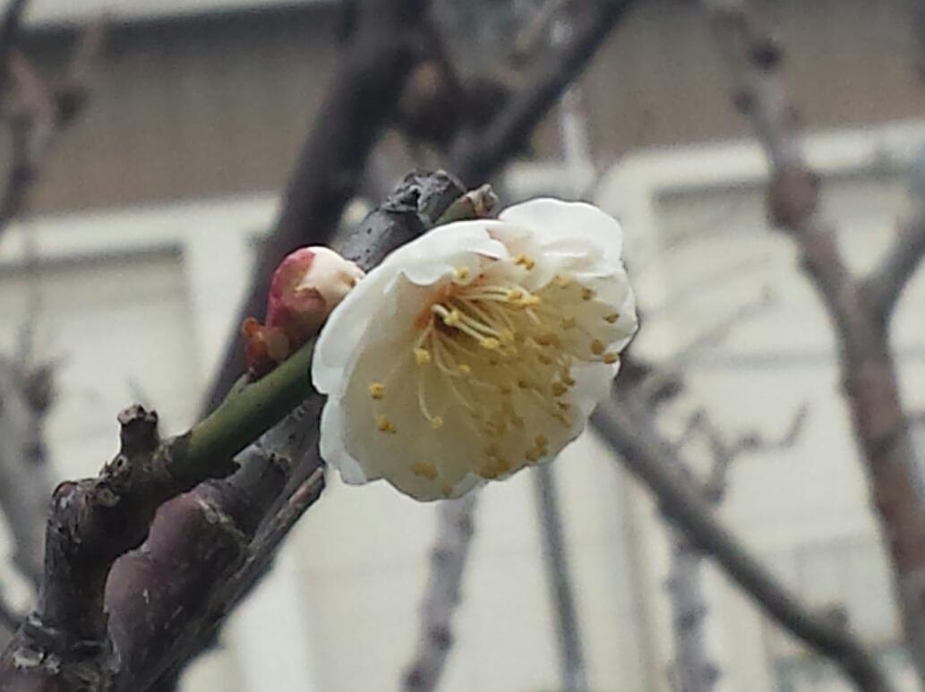 梅の花が咲いていました。_f0192307_21491440.jpg