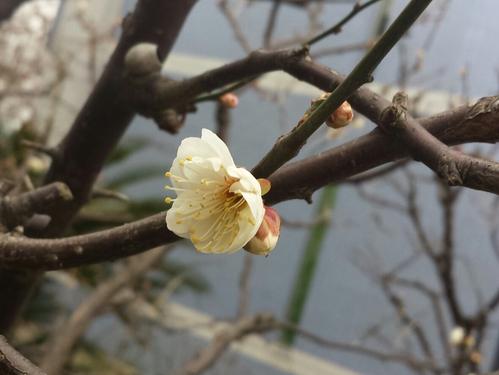 梅の花が咲いていました。_f0192307_21492426.jpg