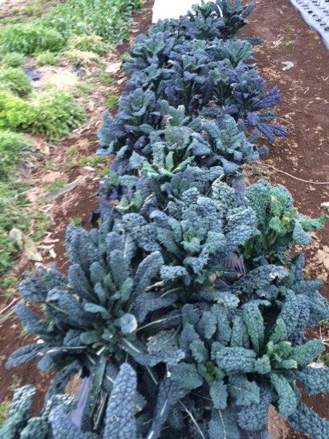 霜やけの水菜やレタス達もいますが・・・復活の兆しです・・_c0222448_18062526.jpg