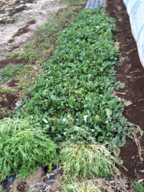 霜やけの水菜やレタス達もいますが・・・復活の兆しです・・_c0222448_18064442.jpg
