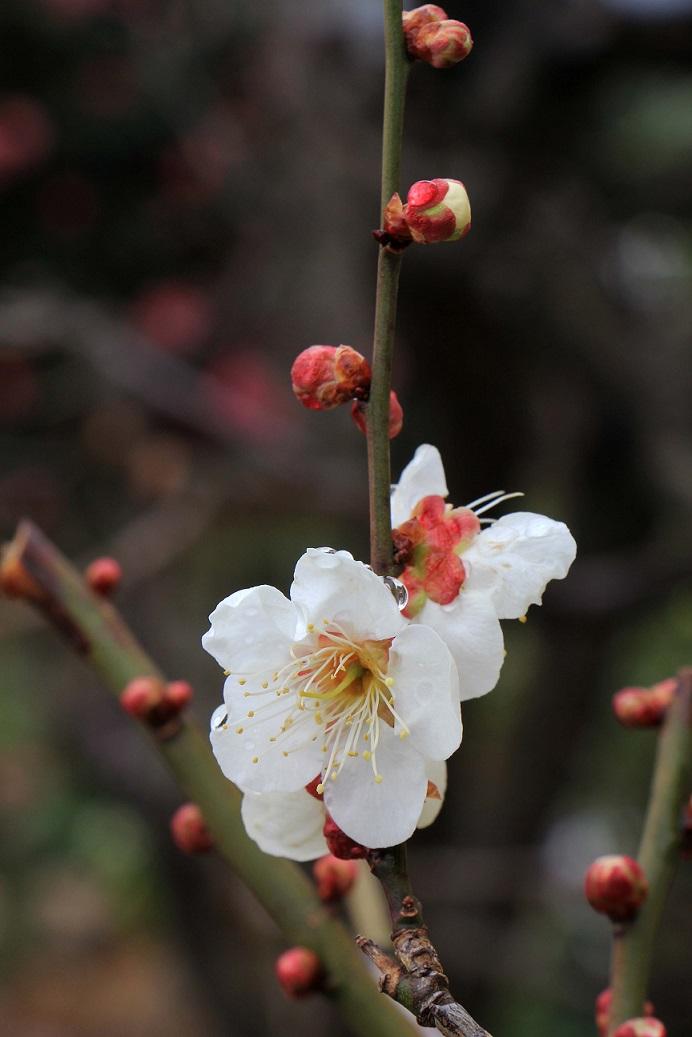 やっとの開花、そしてホッとした雨   ~白梅~_a0107574_18395095.jpg