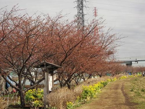お花見です、桜と梅が共演中です。_b0137932_12503050.jpg