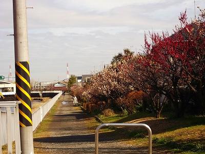 お花見です、桜と梅が共演中です。_b0137932_12575996.jpg