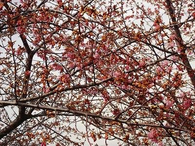 お花見です、桜と梅が共演中です。_b0137932_1257999.jpg